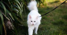 Les promenades dans la rue ou dans les parcs ne sont pas réservées qu'aux chiens. Bien éduqués et équipés d'une laisse, les chats peuvent eux aussi profiter de l'extérieur. Voici comment y parvenir.
