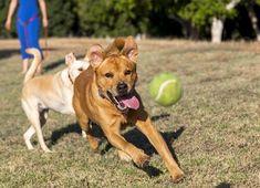 Si quieres que tu perro devuelva la pelota, aprende estos trucos y pasos que te enseñamos en Mis Animales para lograrlo en unas pocas semanas