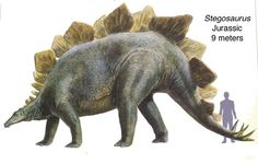 "Stegosaurus (/ˌstɛɡɵˈsɔrəs/, meaning ""roof lizard"" or ""covered lizard"" in reference to its bony plates[1]) is a genus of armored stegosaurid dinosaur. They lived during the Late Jurassic period (Kimmeridgian to early Tithonian), some 155 to 150 million years ago in what is now western North America. (Wikipedia)"