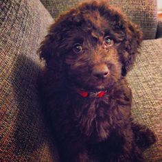 Chocolate labradoodle ~Coco~ Yep, already named her. ;)