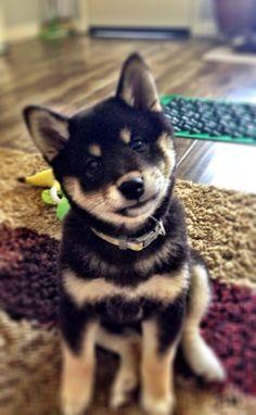 Shiba Inu Puppy black and tan Shiba Inu Noir, Chien Shiba Inu, Shiba Inu Black, Akita Inu Puppy, Shiba Puppy, Shiba Inu Puppies, Japanese Dog Breeds, Japanese Dogs, Baby Puppies