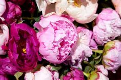 How to Grow Peonies All about the best way to plant peonies in your flower garden. Info on soil, spacing and making sure you plant your peony roots correctly. Peonies And Hydrangeas, Peonies Garden, Pink Peonies, Buy Peonies, Fall Plants, Garden Plants, Indoor Plants, House Plants, Peony Flower