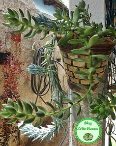 Planta Suculenta em Flor