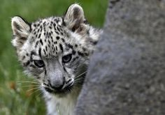 A three month old snow leopard cub looks out from behind a rock at the Brookfield Zoo in Brookfield, Illinois