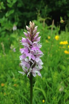 Common spotted orchid in the Chilterns Orchids, Wild Flowers, Plants