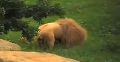 This is the only lion in the world who plays soccer. His skills are second to none. Maybe we will see him at the next World Cup. Please Share With Family and Friends Beautiful Lion, Top News Stories, Play Soccer, Toy, Patrick Harris, Animals, Kitty Cats, Tossed, Plays