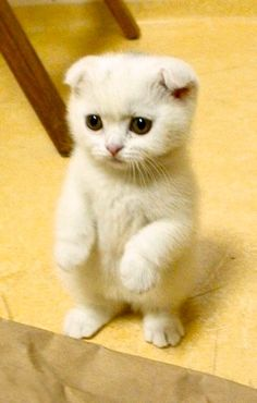 Cute white Scottish Fold