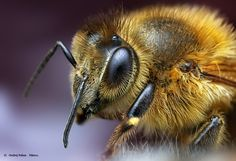 Bee by Ondrej Pakan, via 500px
