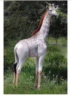 This rare giraffe was first seen at the Tarangire National Park in Tanzania