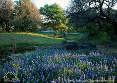 Crabapple Creek - Texas Wildflowers, Bluebonnets in Hill Country by Gary Regner