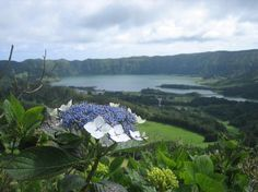 Hydrangea...the flower of Sao Miguel Portugal