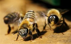 Help bees - Researchers have found that honey bees rely upon ivy for the majority of the pollen and nectar they collect during the autumn months, a crucial time when the insects are trying to build up stores for the winter and feed their young.