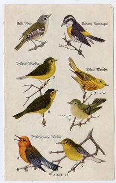 Yellow and gray birds vintage book illustrations by workbox