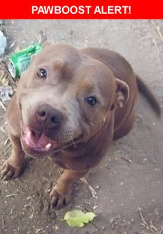 Please spread the word! Envy was last seen in Fresno, CA 93728.  Description: A chocolate Brown female pocket Pit hair sometimes has a tint of Smokey grey n light.  Nearest Address: Fruit & mckinley went missing either last night or this morning