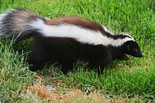 Humboldt's hog-nosed skunk, also known as the Patagonian hog-nosed skunk (Conepatus humboldtii) indigenous to the open grassy areas in the Patagonian regions of Argentina and Chile.  Zorrillo.jpg