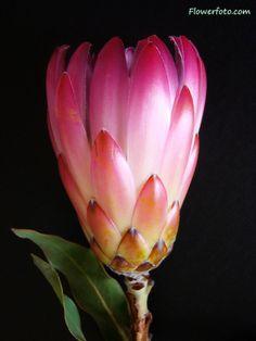 silk protea flower Protea Flower, Wonderful Flowers, Garden Planning, Seeds, Bloom, Leaves, Flower Ideas, Silk, Plants