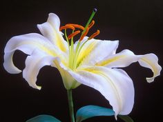 Lily+Flower+Wallpaper | ... Free Flowers Wallpapers Pictures of Flowers Spring Flower Wallpapers