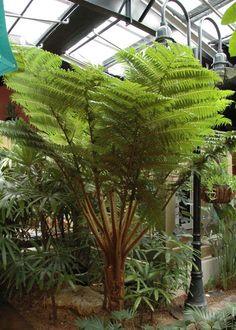 indoor tree Australischer Baumfarn (Cyanthea Cooperi), Th Tropical Landscaping, Outdoor Landscaping, Tropical Garden, Tropical Plants, Landscaping Ideas, Indoor Trees, Indoor Plants, Australian Tree Fern, Landscape Design