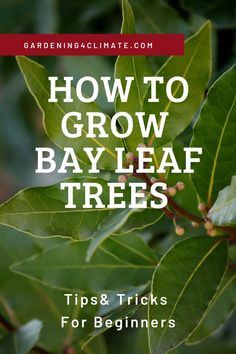 Bay Leaf plants are an easy to grow evergreen tree for the garden or containers. Learn here how to grow this herb plant in your garden. art design landspacing to plant Bay Leaf Plant, Bay Leaf Tree, Bay Leaves, Fruit Trees, Trees To Plant, Plant Leaves, Growing Herbs, Growing Tree, Backyard Vegetable Gardens