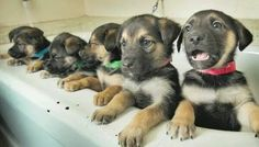 German Shepherd cuties!