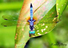 Dragonfly by Kimber Albergo