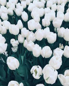 / . Tulip troop. . _ #grandarmyplaza #centralpark #tulips #flowers #purewhite #nyc #latergram Tulips Flowers, May Flowers, Flowers Nature, Beautiful Flowers, Spring Wallpaper, Flower Wallpaper, Wallpaper Pictures, Wallpaper Backgrounds, Wallpapers