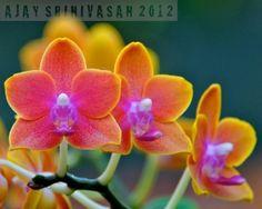 Moth-Orchid [ Phalaenopsis ] Flowers by georgina