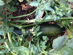 This zucchini was over two feet long when we harvested it out of the planter.  We pulled 4 of them from this plant alone.