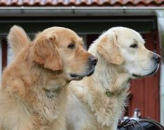 Beautiful Golden profiles