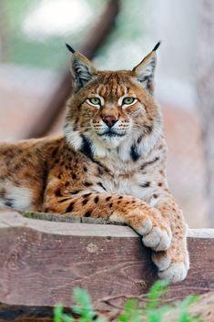 Big Cats-- Lying and posing lynx (by Tambako the Jaguar) Huge Cat, Big Cats, Cats And Kittens, Cat Bobcat, Serval Cats, Siamese Cats, Beautiful Cats, Animals Beautiful, Cute Animals