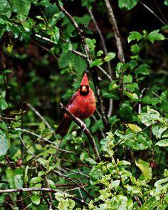 State bird of West Virginia