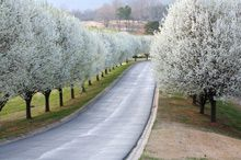 Cleveland Pear, for front yard along road, white flowers in spring, green in summer, scarlet red in fall, matures at 30-40 feet