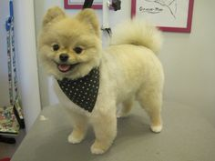 Marvelous Pomeranian Does Your Dog Measure Up and Does It Matter Characteristics. All About Pomeranian Does Your Dog Measure Up and Does It Matter Characteristics. Pomeranian Spitz, Pomeranian Haircut, Cute Pomeranian, Yorkie, Pomeranians, Pomeranian Teddy Bear Cut, Pomeranian Hairstyles, Dog Haircuts, Save A Dog