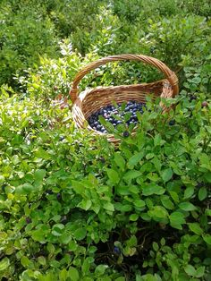 Picking blueberries in the mountain forest