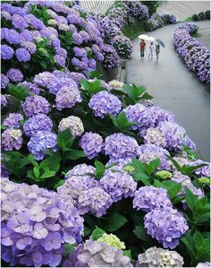 These are without a doubt my favorite flowers in the whole world. I feel in love with them when I was 6 years old and we made our first trip to Canada's west coast. It seemed like every yard had these gorgeous flowers in them.Hydrangea Road in Miyazaki, Japan. Photography by Kenzi Kuoki