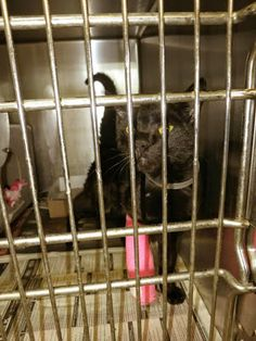 A Downey Cat Blog: Downey CA: $140 pledged so far. Beyond urgent SWEET FEMALE black 1-yr-old kitten WITH PINK CAST!!! Pet Life, Cats And Kittens, Dog Cat, Adoption, It Cast, Female, Pets, Board, Sweet