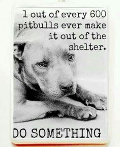 Shelter pit bulls