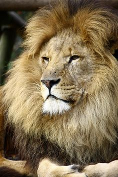 Big Cats Photography - Lion by Catt Moore, via Flickr