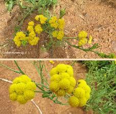 Schistostephium crataegifolium - Google Search Wild Flowers, Google Search, Plants, Wildflowers, Plant, Planets
