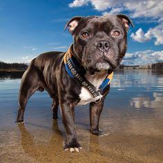 Spredningen av Corona er mer under kontroll. Men vi skal fortsatt være forsiktige. Jeg kommer derfor til å ha mest fokus på fotografering utendørs i tiden fremover. Og med den våren vi har nå så er ikke det så ille akkurat. Vi har vært bortskjemt med godt vær i lang tid og forhåpentligvis fortsetter  #hund #hundefotograf #staffordshirebullterrier Staffordshire Bull Terrier, Family Dogs, Pitbulls, Animals, Instagram, Nature, Animales, Pit Bulls, Animaux
