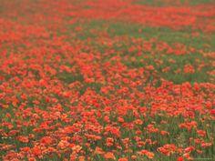 Field of Poppies, Burgenland, Austria Photographic Print by Walter Bibikow at Art.com