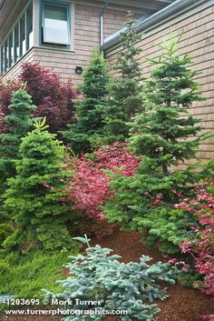 Evergreens 1203695 Dwarf Firs & Japanese Maples against home [Abies cvs. Jim S Colorado Landscaping, Landscaping With Rocks, Landscaping Plants, Front Yard Landscaping, Evergreen Landscape, Evergreen Garden, Garden Trees, Evergreen Trees, House Landscape