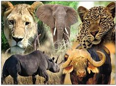 South Africa is blessed with the Big 5 - Lion, Elephant, Leopard, Rhino and Buffalo. One never has to travel far in SA to gasp at these big beauties. Big Game Hunting, Trophy Hunting, Bear Hunting, Chobe National Park, Kruger National Park, African Animals, African Safari, African Art, Linda Park