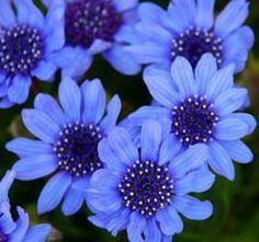 felicia blue daisy