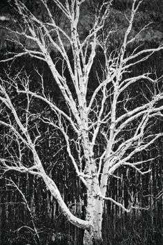 11ab9b0f968 White Birch Tree Artistic Black White Photo Journal  (notebook