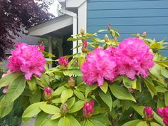 Rhododendrons Blooming in front of Albion River Inn accommodations.