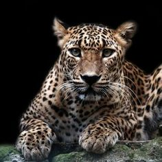 What a great picture of a great big cat Pretty Cats, Beautiful Cats, Pretty Kitty, Small Cat, All Gods Creatures, Here Kitty Kitty, Great Pictures, Big Cats, Cat Day