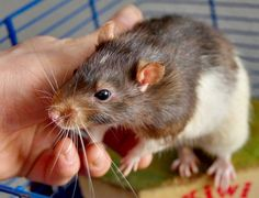 a short guide to rat care and keeping rats as pets. Covering feeding rats, rat cages, choosing a rat, and rat behavior.