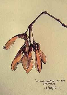 Maple tree sycamore