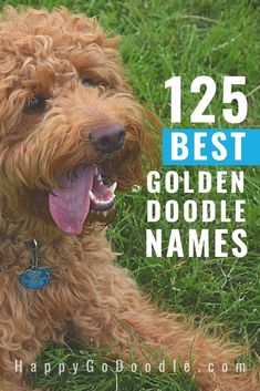 Searching for a Goldendoodle name that' just right for your little Dood? Get inspired with this list of 125 Goldendoodle names that are sorted by category. Then we sorted our doodle monikers into categories based on personality, lifestyle, and physical appearance. #goldendoodlenames #goldendoodledognames #happygodoodle #doodlenames Goldendoodle Black, Goldendoodle Names, Australian Labradoodle, Goldendoodles, Best Girl Names, New Names, Cool Names, Poodle Mix Breeds, Dog Breeds